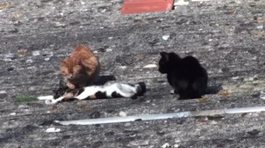 Three cats playing outdoor — Stockvideo