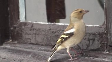 Female finch assaulting its reflection. — ストックビデオ