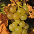 Detail of wine grape — Stock Photo