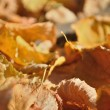 Brown fallen autumn leaves on the ground — Stock Photo