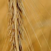 Detail view of wheat spike — Stockfoto