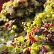 Pressed grapes by wine grape machine centrifuge — Foto Stock