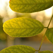 Green leaves on branch against light — Stock Photo