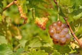 Wine grape with blurred natural background — Stock Photo