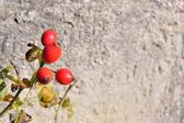 Briar, wild rosehip shrub with blurred stone in background — Stockfoto