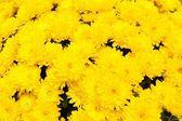 Background of yellow chrysanthemum flowers — Stock Photo