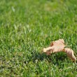 Fallen dry leaf on green grass in autumn — Stock Photo