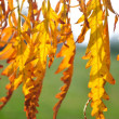 Detail of backlit yellow autumn leaves — Foto Stock