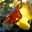 Detail view of yellow backlighted vine leaf — Stock Photo