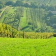 Rows of vineyard on hill before harvesting — Stock Photo