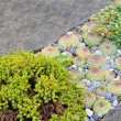 Stock Photo: Small green plant, houseleek between gray stones