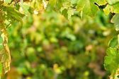 Natural background framed by vine leaves — Stockfoto