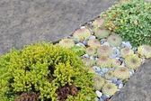 Small green plant, houseleek between gray stones — Stock Photo