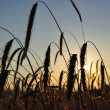 Wheat field with spike silhouettes at sunset — Stock Photo