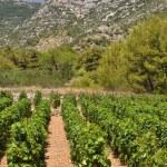 Vineyard in Bol town on island Brac. Croatia — Stock Photo
