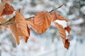 Branch in winter with snow and blurred background — Stock Photo