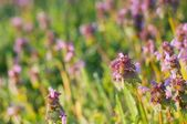 Purple Dead Nettle (Lamium purpureum) — Stock Photo