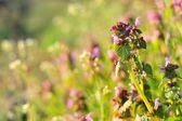 Purple Dead Nettle (Lamium purpureum) — Stock Photo