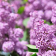 Purple Lilac flowers in spring — Photo