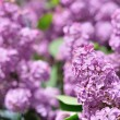 Purple Lilac flowers in spring — Stok fotoğraf