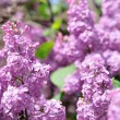 Purple Lilac flowers in spring — Stockfoto