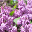 Purple Lilac flowers in spring — Stock Photo #40448935