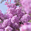 Purple Lilac flowers in spring — Stock Photo #40448975