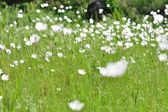 Meadow with white flowers in spring — Foto de Stock