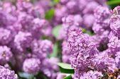 Lila lila Blüten im Frühjahr — Stockfoto
