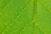 Detail of green leaf texture — Stock Photo