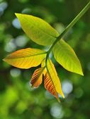Natural background with walnut leaf — Stock Photo