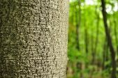 Detail of tree trunk with blurred forest in background — Stock Photo