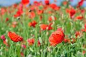 Field of red wild poppies — Stock Photo