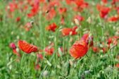 Field of red wild poppies on a sunny day. Natural background — Stock Photo