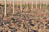 Cutted vineyard in early spring — Stock Photo