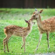 Candit shot of two little deers playing — Stock Photo #36746453