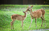 Candit shot of two little deers playing — Stock Photo