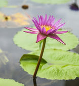 Lotus flower and Lotus flower plants in water. — Stock Photo