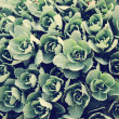 Many small clusters of succulent leaves — Stock Photo