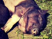 Piglet dozing in the sun and smiling in his sleep. — Stock Photo