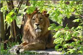 Panthera leo leo — Stock Photo