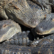 Alligators — Stock Photo #34487339