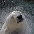 Polar Bear — Photo