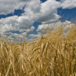 Wheat field and blue sky with clouds — Stockfoto