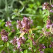 Thymus - healing herb and condiment  — Foto de Stock