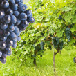 Several bunches of ripe grapes on the vine  — Stock Photo