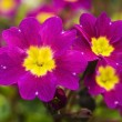 Lovely purple flowers  close-up  — Stock Photo