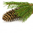 Spruce branch with fir-cone — 图库照片
