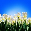 Spring background with beautiful white tulips — Stock Photo