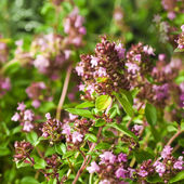 Thymus - healing herb and condiment — Stock Photo